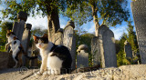 Feral cats on wall of Ottoman cemetery with grave stones at Eyup Sultan Mosque Istanbul