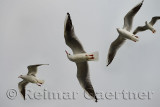 Four Common black headed gulls aloft over a ferry on the Dardanelles Turkey