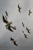 Flock of Common Black Headed Gulls in winter plumage flying over a ferry on the Dardanelles Turkey