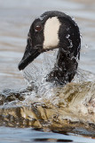 67. Canadian Goose (shaping water) series -67-
