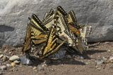 Gathering of butterflys
