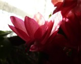 Christmas Cactus ~ November 18th