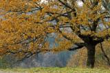 le chêne, en automne