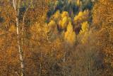 les bouleaux aux feuilles d'or