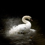Falls.LEICESTER's SWAN