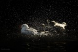 Falls.Leicester's Gulls