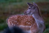 Falls.Fallow deer.
