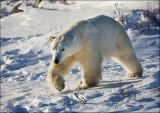 Polar Bears of Churchill, Manitoba, Canada 2012