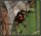 Red Widow Spider (Latrodectus Bishopi)