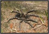 Carolina Wolf Spider (Hogna carolinensis)