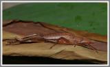 Palmetto Conehead Katydid (Belocephalus sabalis)