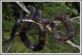 Black Rat Snake (Pantherophis obsoletus obsoletus)