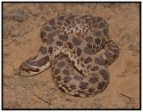 Dusty Hognose Snake (Heterodon nasicus gloydi)