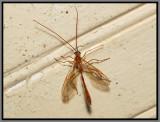 Ichneumon Wasp (Enicospilus purgatus)