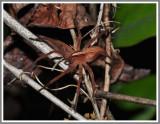 Nursery Web Spider (Pisaurina mira)