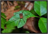 Harvestman (Leiobunum sp.)