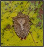 Brown Stink Bug (Euschistus servus)