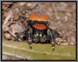 Apache Jumper Spider (Phidippus apacheanus)