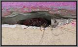 Smokybrown Cockroach (Periplaneta fuliginosa)