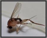 Phoridae (Phorid Fly)