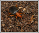 Bombardier Beetle (Brachinus sp.)