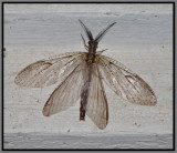 Spring Fish Fly (Chauliodes rastricornis)