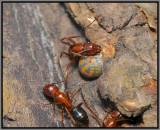 Florida Carpenter Ant (Camponotus floridanus) feeding on Tuliptree Scale (Toumeyella liriodendri) Honeydew