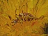 Lacewing Larvae