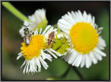 Lacewing larvae and small unidentified bee