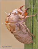 Dogday Harvestfly-Exoskeleton