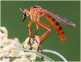 Hanging Thieves Robberfly