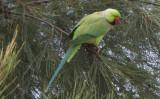 Rose-Ringed-Parakeet_13-12-2012 (6).JPG