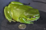 EOS-M: Giant Green Frog
