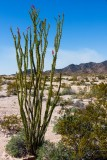 Ocotillo with a few early flowers