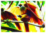 Birds of Paradise Mating