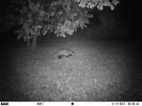 Blaireau - Badger