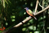 Painted bunting - male