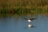 Osprey skimming the water