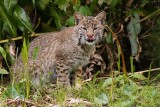 Bobcat having a lick