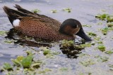 Cinnamon/Blue-winged teal hybrid