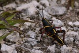 Young eastern lubber grasshopper