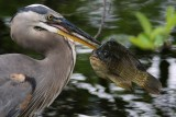 Great blue heron with a great fish