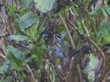 Guldvingad skogssångare - Golden-winged Warbler (Vermivora chrysoptera)