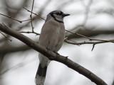Blåskrika - Blue Jay (Cyanocitta cristata)