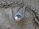 Vitbröstad nötväcka - White-breasted Nuthatch (Sitta carolinensis)