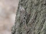 Amerikansk trädkrypare - Brown Treecreper (Certhia americana)