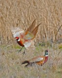 pretty pheasants in gray lodge.jpg march 2nd