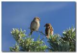 Common Sparrows