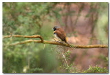 Chestnut - breasted Mannikin Finch