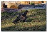 Black-Breasted Buzzard